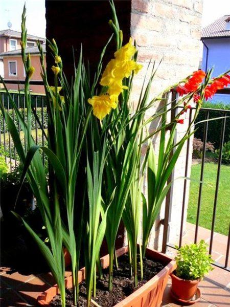 Высокие яркие цветы способны украсить собой любой балкон