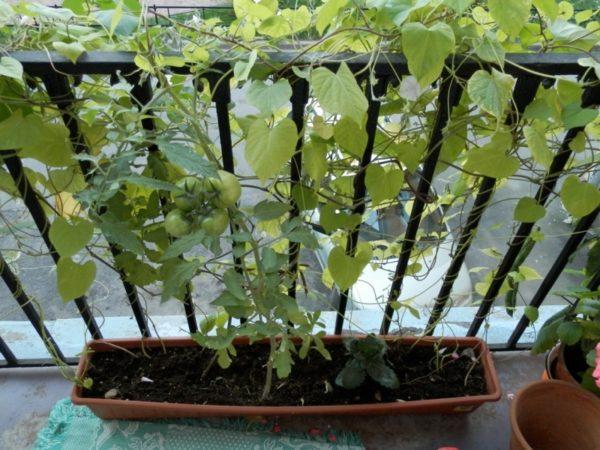 Вьюнок настолько неприхотлив, что может соседствовать с любыми растениями, даже томатами