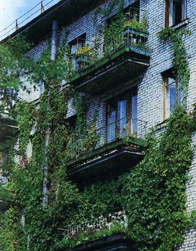 Взлелеянный росток дикого винограда под стеной может оплести несколько этажей