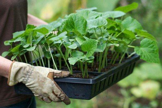 Закалка позволит сделать ростки более крепкими, и уже на открытом воздухе им будут не страшны низкие температуры