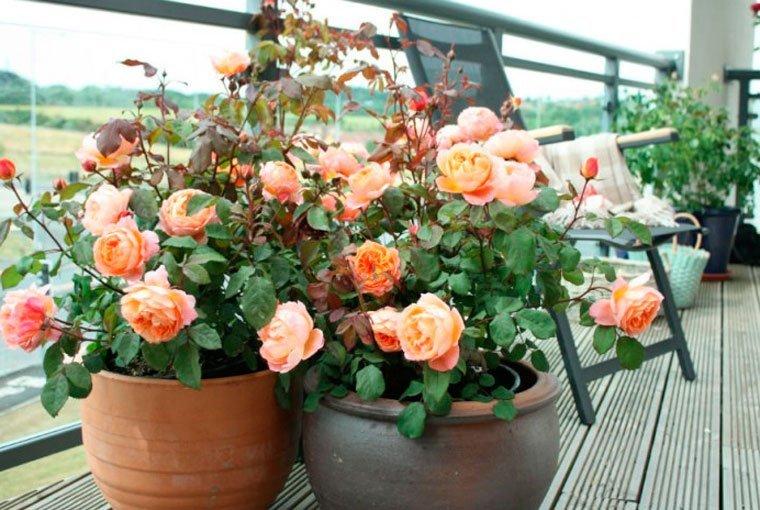 Розы на балконе: 8 критериев правильного выращивания obustro.