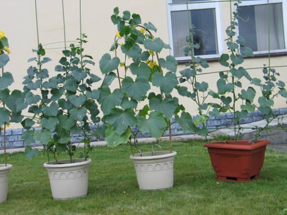 Чаще всего огурцы растят в горшках и вазонах.