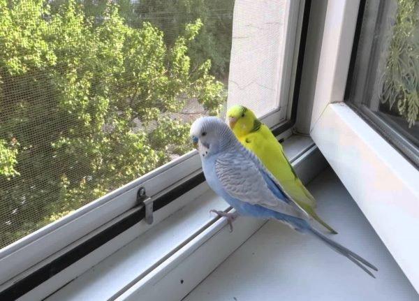 Даже маленький попугай сможет порвать своим клювом москитную сетку.