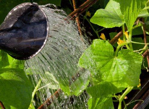Поливать растения надо ежедневно.