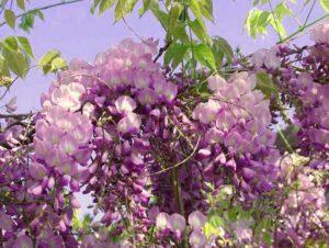 Цветок Wisteria floribunda раскрывается постепенно от основания к концу грозди