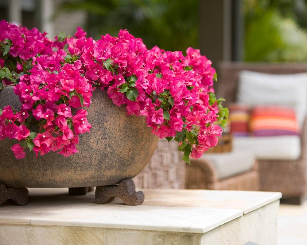 Цветок бугенвиллия: выращивание и уход в домашних условиях, фото