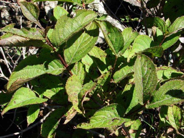 Болезни, как правило, проявляются налетом на листьях и стеблях