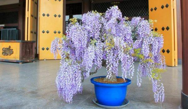 Если молодая глициния растет в большой емкости, на зиму обязательно поместите растение в теплое помещение