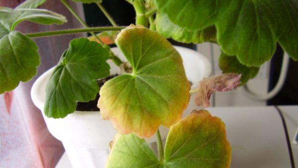 Если у пеларгонии желтеют листья, их нужно удалить