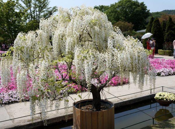 Глициния с белыми цветками в парковом ландшафте