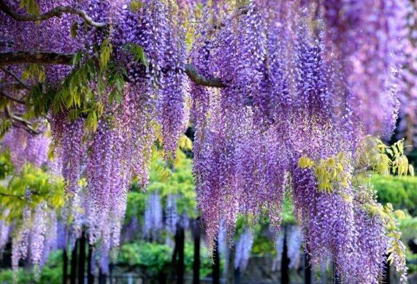 Глициния — удивительное растение, завораживающее свисающими цветочными гроздьями