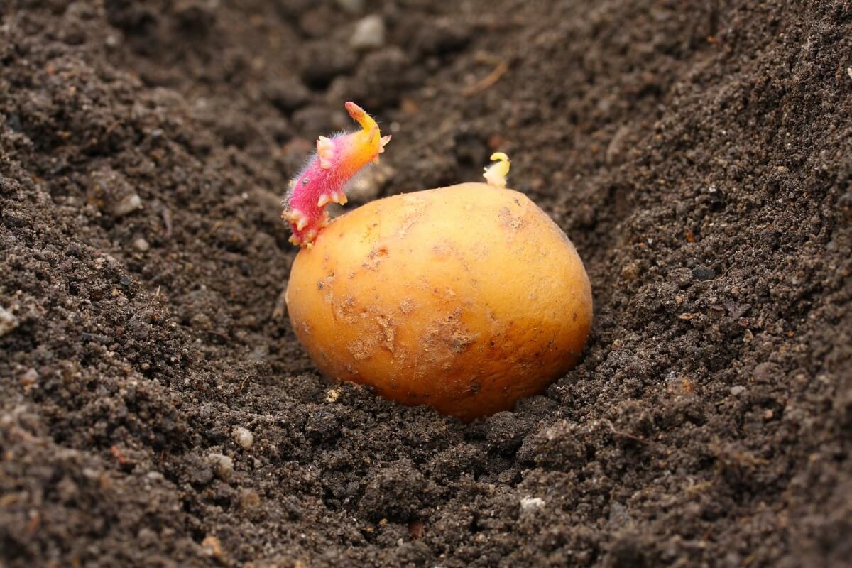 15 мая – хороший день для посадки картофеля.