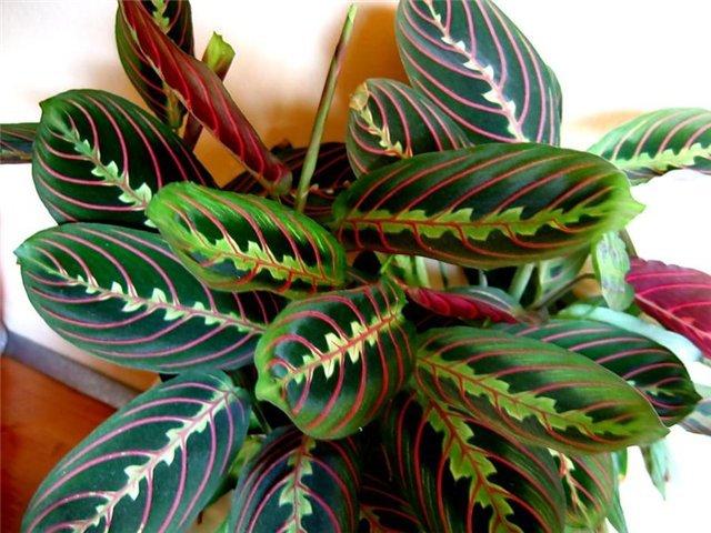Растение маранта, уход, особенности размножения, энергетика ... | 480x640