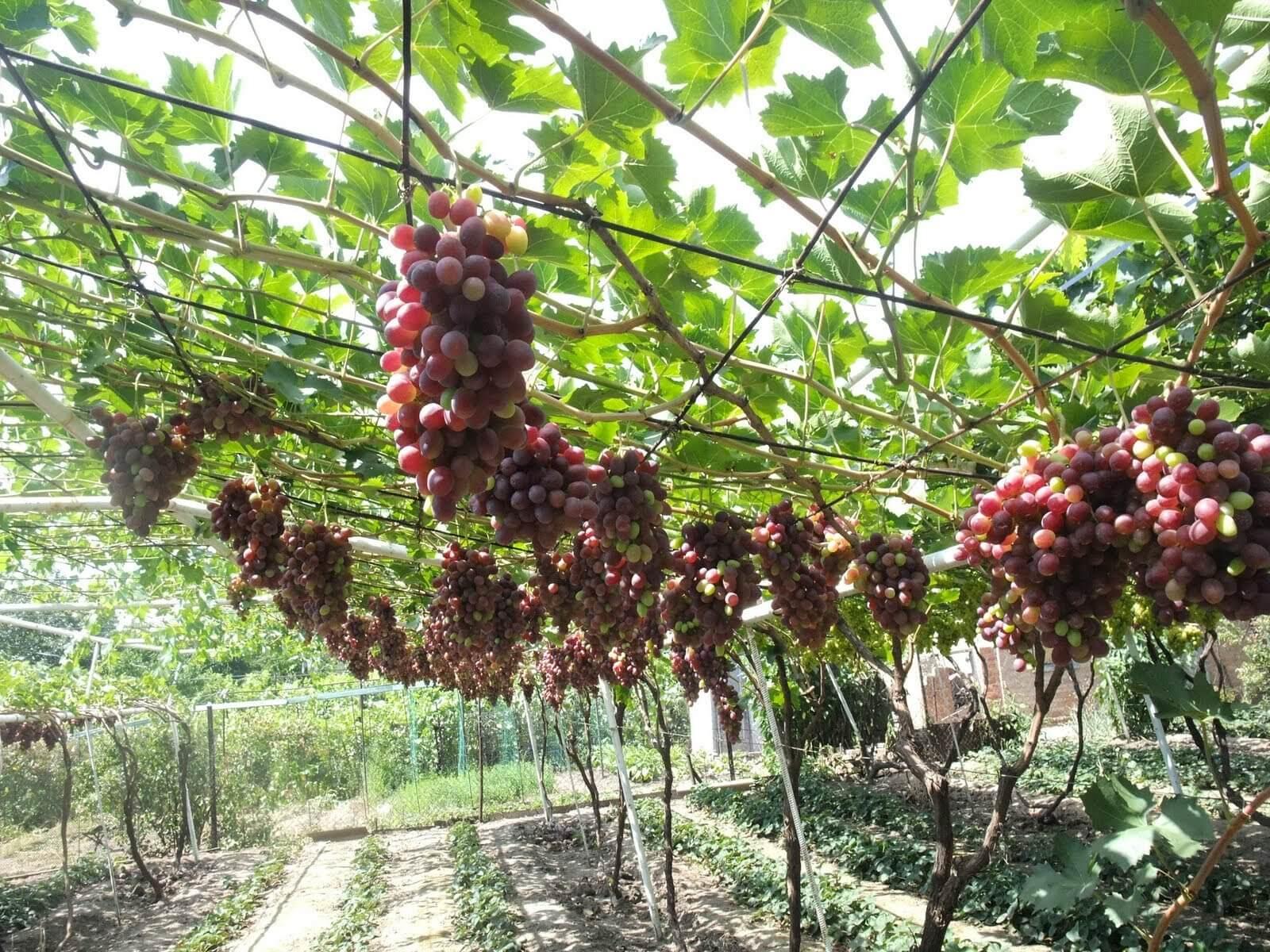 Как посадить виноград 42