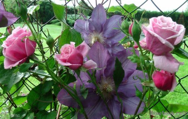 Клематис часто сочетают с розами