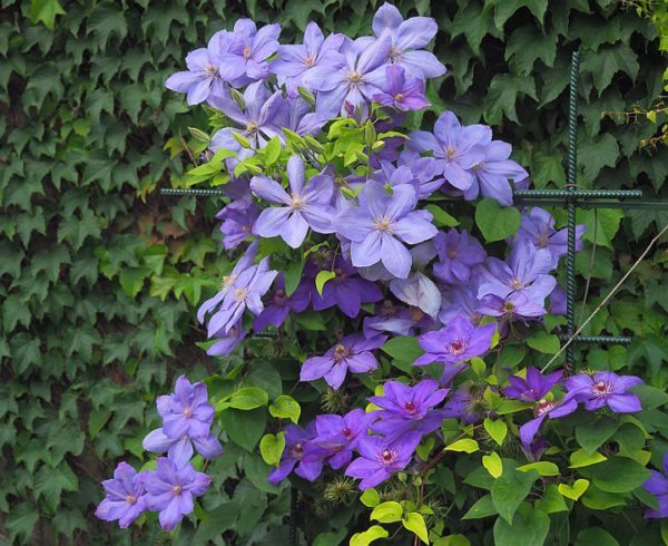 Клематис – цветущая лиана