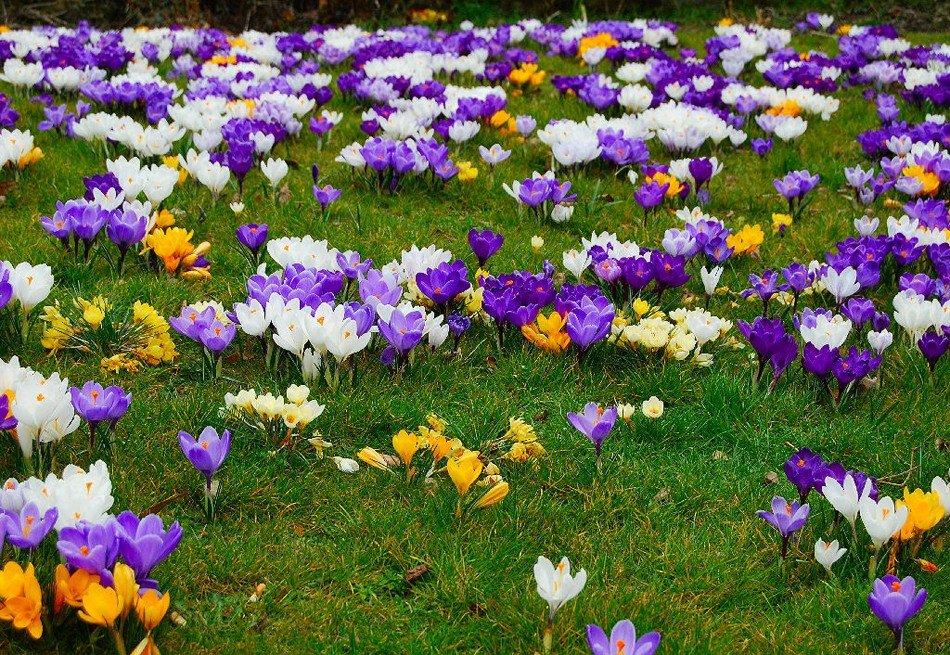 Цветок крокус фото посадка