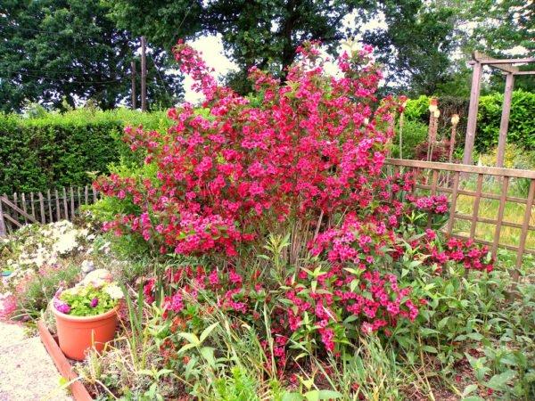 Кустарник можно высаживать вместе с различными садовыми культурами