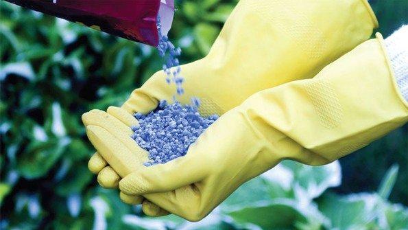 Лилейник нуждается в периодическом внесении удобрений