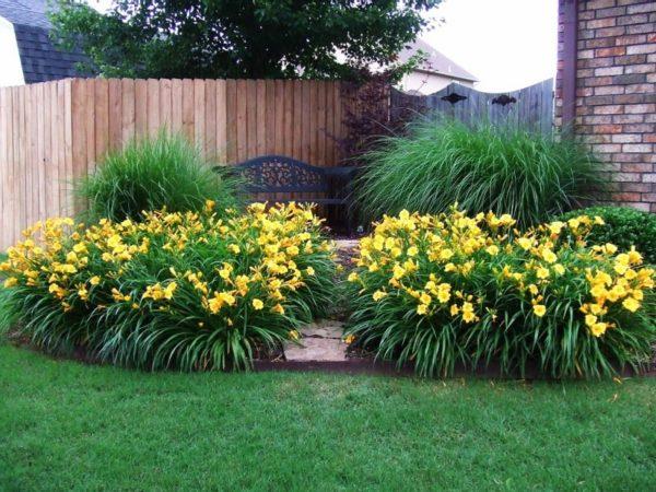 Лилейник украсит сад яркими цветками