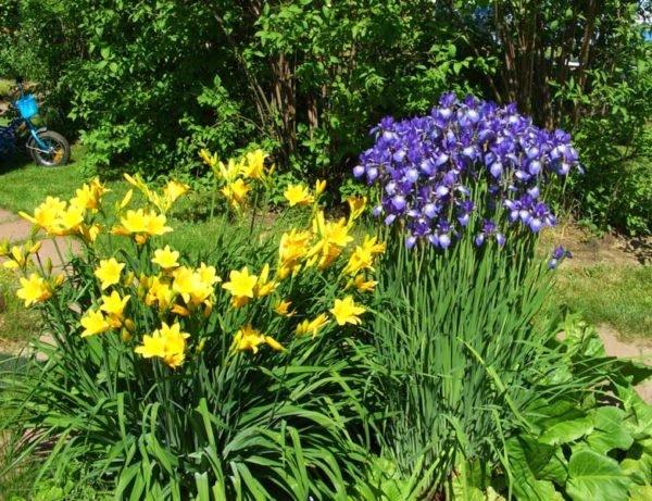 Можно комбинировать лилейник с другими культурными растениями по цвету