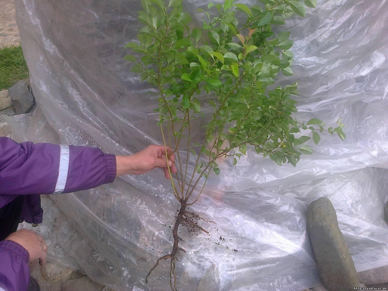 Изображение - Бизнес на выращивании японской айвы na-foto-pokazan-koren-tsidonii