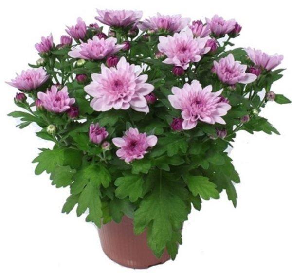 Некоторые сорта хризантем можно выращивать дома в цветочных горшках