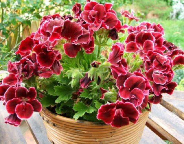 Пеларгония смотрится одинаково привлекательно и на подоконнике и в саду