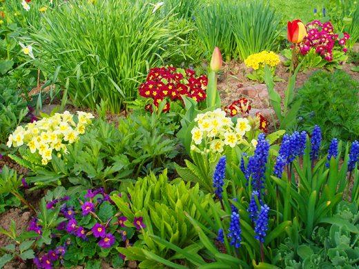 Первые цветы можно комбинировать на одной клумбе в зависимости от высоты стебля, цвета и продолжительности цветения