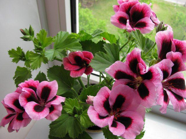 При получении достаточного количества дневного света пеларгония долго и обильно цветет