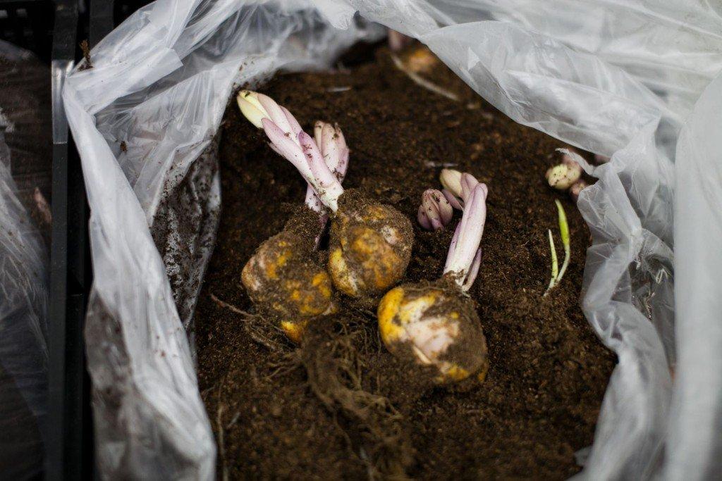 Как сажать семена крокусов