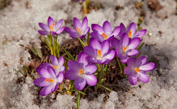 Растения, цветущие ранней весной, прорастают даже через снег