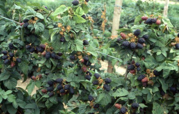 Ремонтантные сорта дают по два урожая, выращивание проходит на шпалере