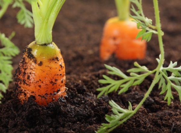 Сочную и сладкую морковь вы можете вырастить у себя дома.