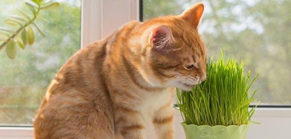 Трава должна присутствовать в рационе у любого кота