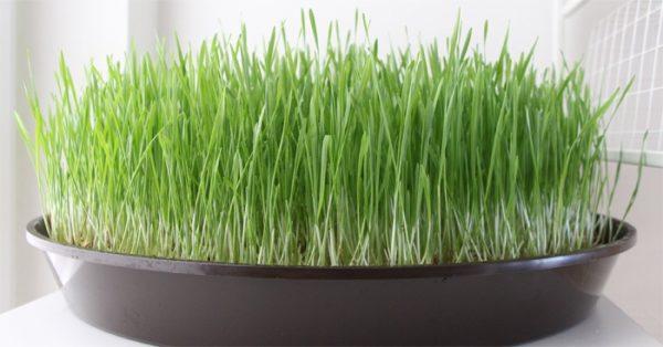 Трава в пластиковой тарелке получается не такой большой, но кошке хватает