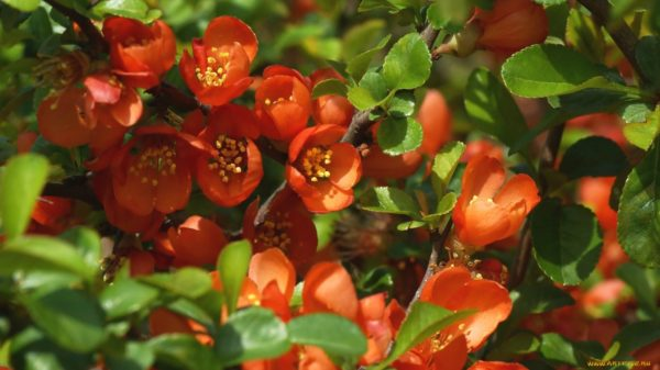Изображение - Бизнес на выращивании японской айвы tsvetenie-tsidonii-dlitsya-34-nedeli-600x337