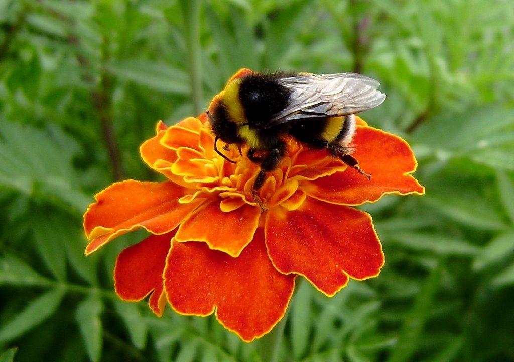 Стих шмель на цветке