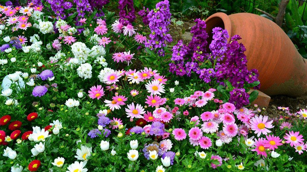 Рассада многолетних цветов для клумбы 98