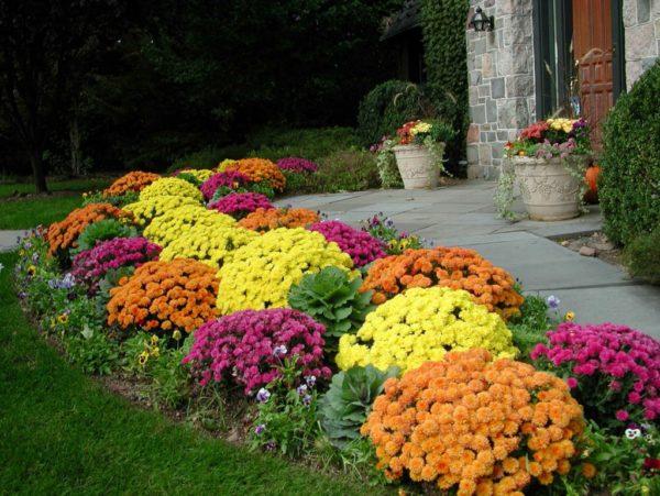 Ухаживать за хризантемами довольно просто: полив, прополка, рыхление