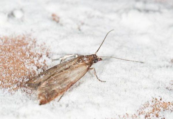 В крупах могут завестись и летающие насекомые – моль